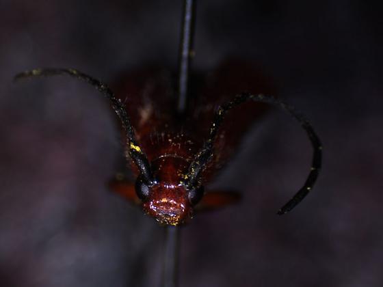Cerambicidae