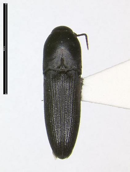 Dromaeolus striatus