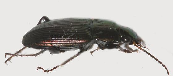 Carabidae - Poecilus chalcites
