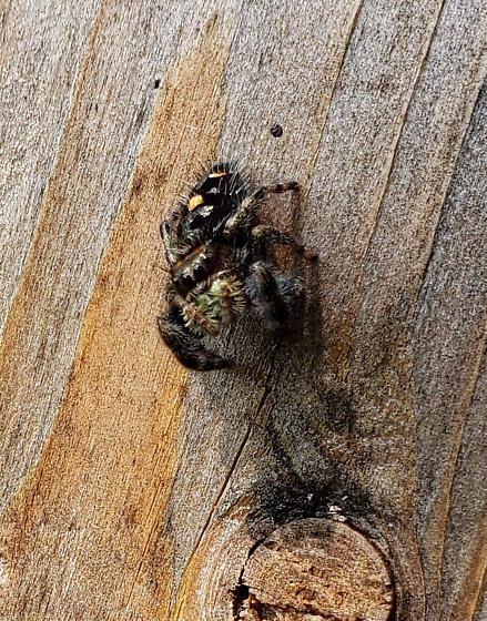 jumping spider - Phidippus audax