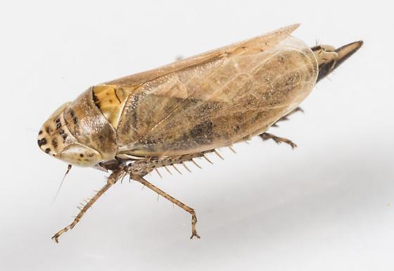 Leafhopper - Doratura stylata