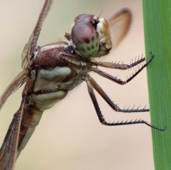 Golden-winged Skimmer - Libellula auripennis - female