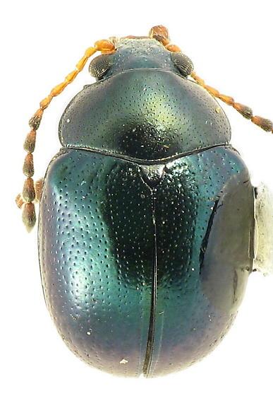 leaf beetle - - Brachypnoea tristis