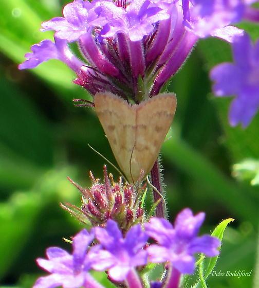 Moth - image 2 - Achyra rantalis