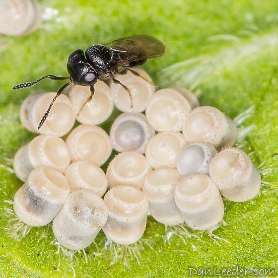 Stink Bug Parasite Wasp - Telenomus - female