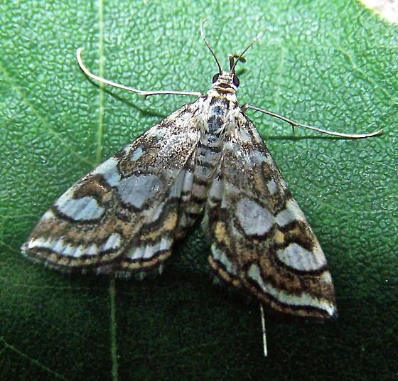 Elophila ekthlipsis