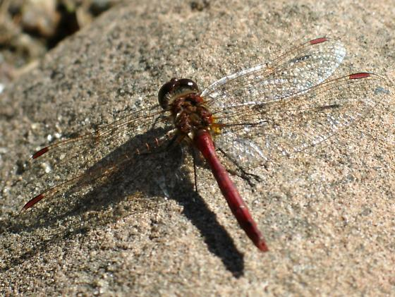 which meadowhawk? - Sympetrum costiferum