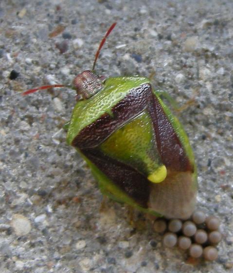 Stink Bug female and eggs - Banasa dimidiata - female
