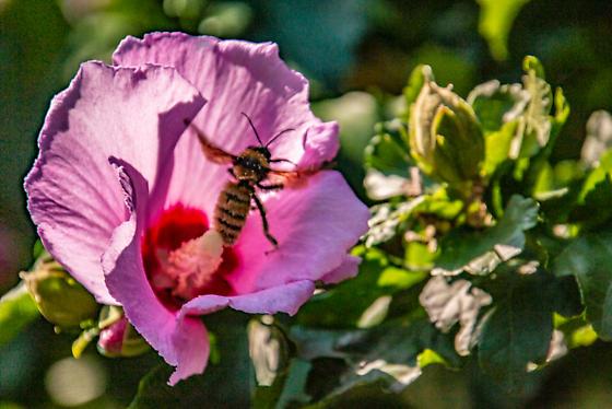 A very large fuzzy bumblebee in Missouri Botanic Garden St. Louis MO - Bombus pensylvanicus