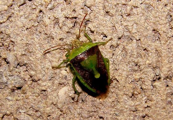 stink bug Id - Banasa dimidiata