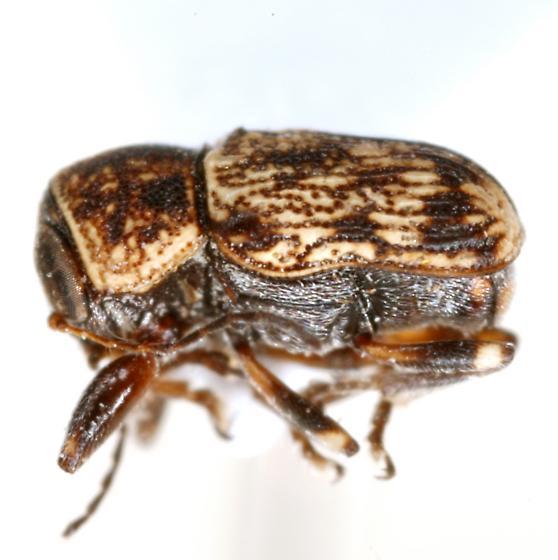 Pachybrachis (TOR sp. #7) - Pachybrachis