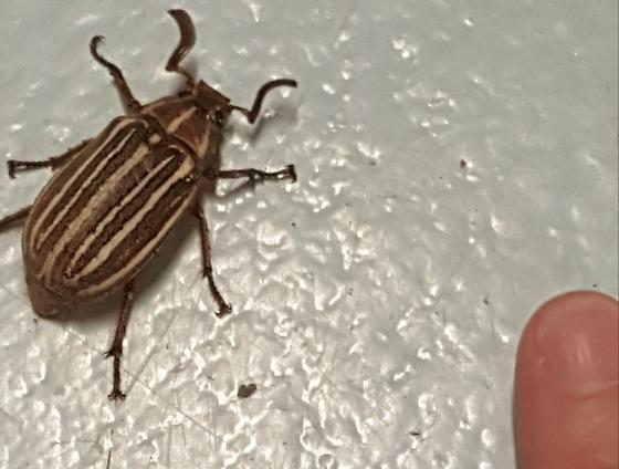 Potato beetle?