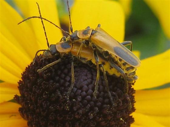 Goldenrod Soldier Beetles - Chauliognathus pensylvanicus - male    Goldenrod Soldier Beetle