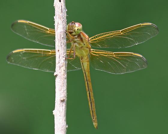 Golden Dragonfly - Libellula needhami