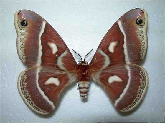 Hyalophora gloveri (Sonoran group) - Hyalophora columbia - female