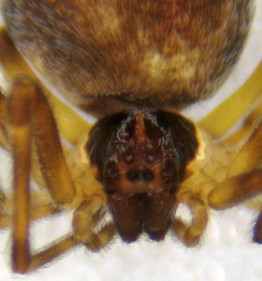 N. linsdalei female - Mallos - female