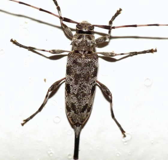 Flat-Faced Longhorn - Acanthocinus obsoletus - female