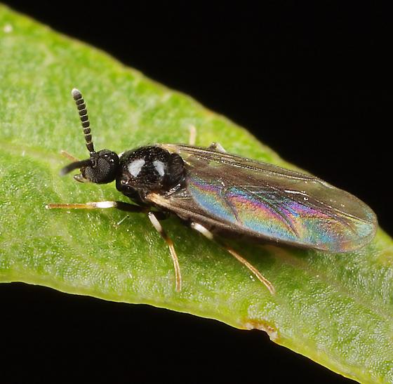 Midge ID - Colobostema varicorne - male