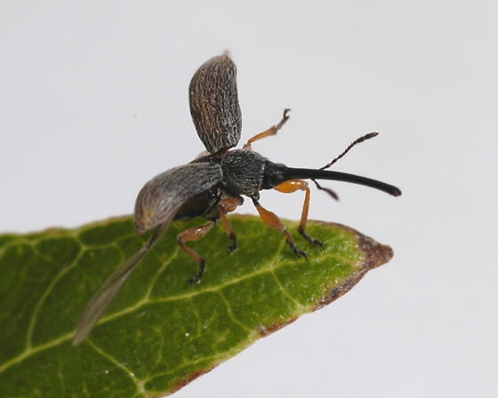 Straight-snouted Weevil - Rhopalapion longirostre - female