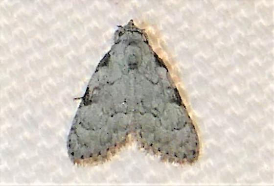 8983.1   Coastal Plain Meganola Moth   ( Meganola phylla)   - Meganola phylla