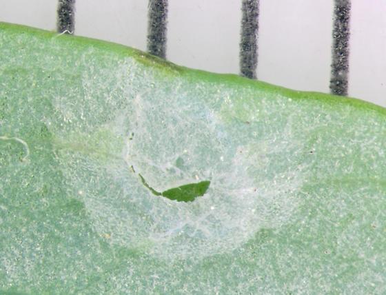 Columbine Sawfly, under side of leaf, emergence - Pristiphora rufipes