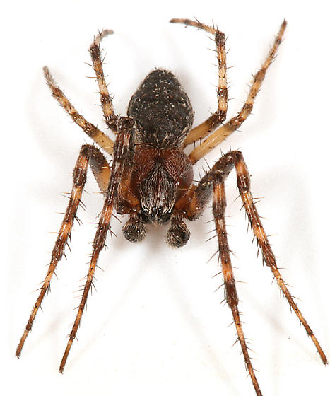 spiny-legged spider - Larinioides sclopetarius - male