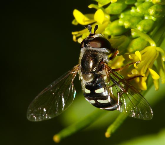 California Syrphid 2 - Eupeodes volucris
