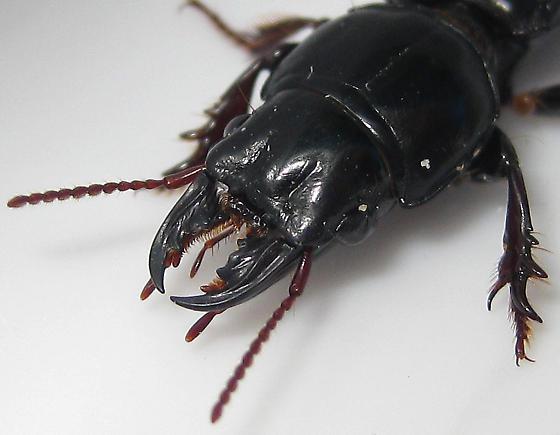 Big-headed Ground Beetle - Scarites subterraneus
