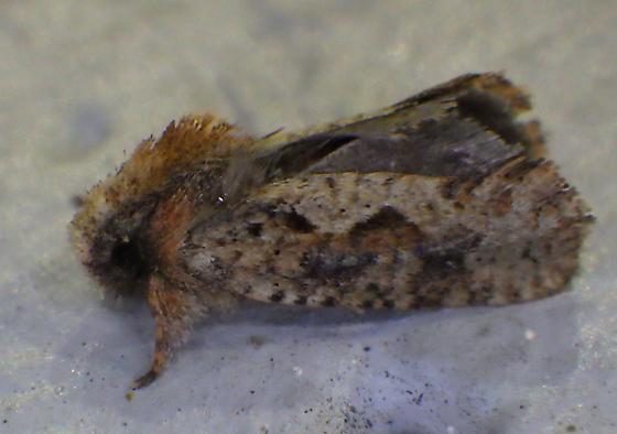 Acrolophus sp. - Acrolophus walsinghami