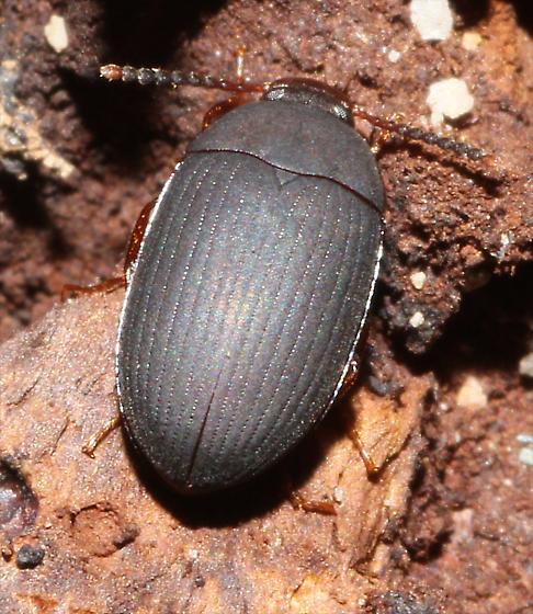 small Darkling Beetle - Platydema nigratum