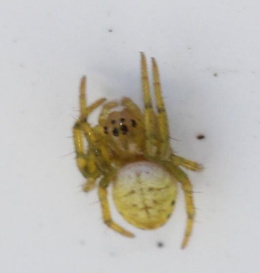 Tiny Orb Weaver