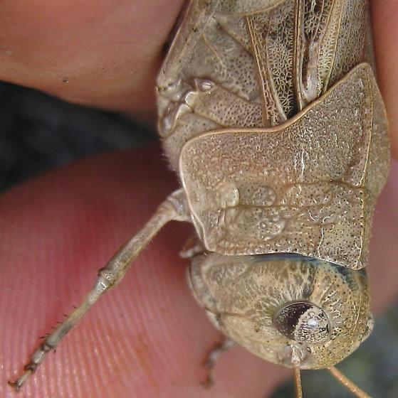 Orange-winged grasshopper - Pardalophora phoenicoptera - female