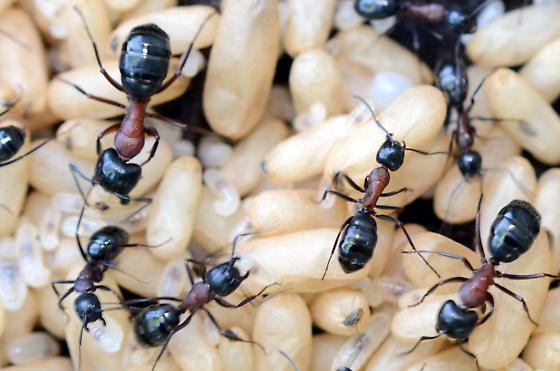 ants - Camponotus novaeboracensis