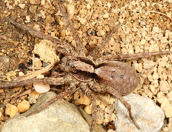 wolf spider - Hogna frondicola - female