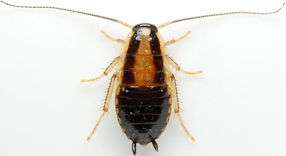 Nymph - Blattella germanica