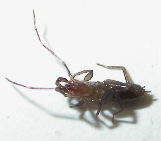 Schizomus portoricensis - Stenochrus portoricensis - female