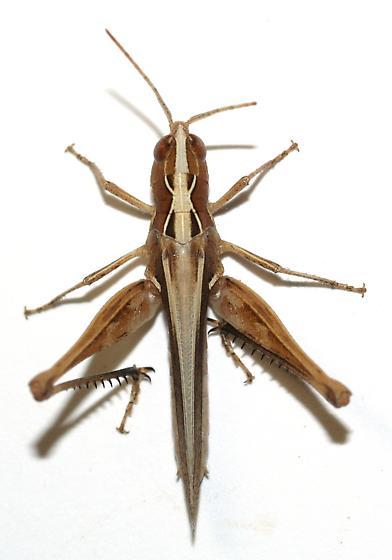 Grasshopper - Horesidotes cinereus - female
