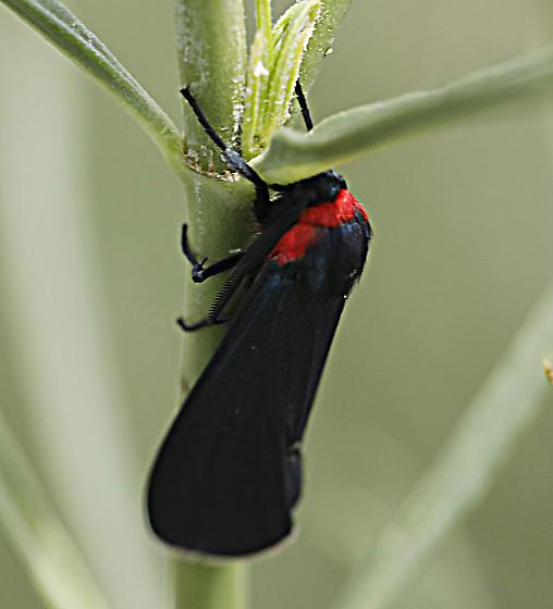 unknown moth - Cisseps? - Pygoctenucha terminalis