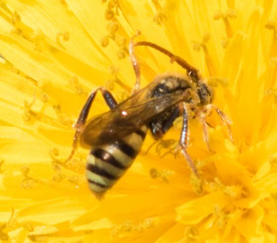 Small Wasp - Nomada - male