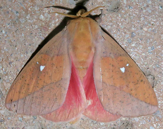 Syssphinx montana - male