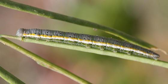 Gray Marble - Anthocharis lanceolata