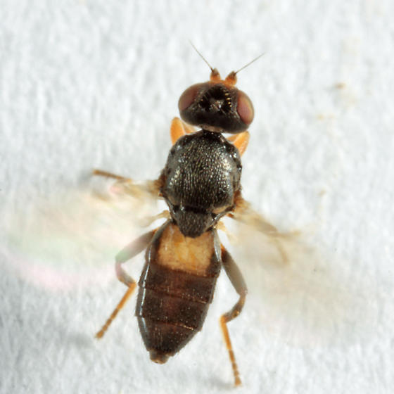Frit Fly? - Oscinisoma alienum