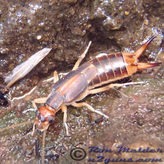 Earwig - Labidura riparia - female