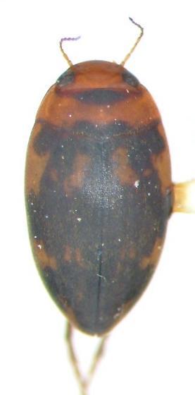 Neoporus - Neoporus undulatus