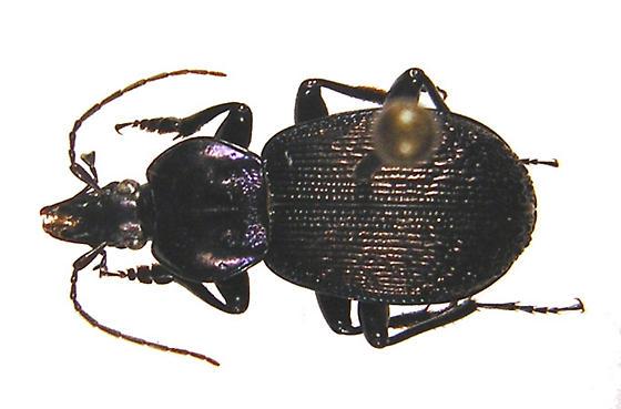 Sphaeroderus nitidicollis brevoorti Lec. - Sphaeroderus stenostomus