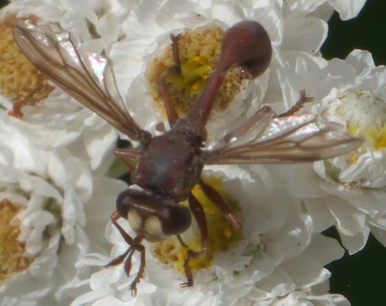 Red, wasp-like fly - Physocephala burgessi