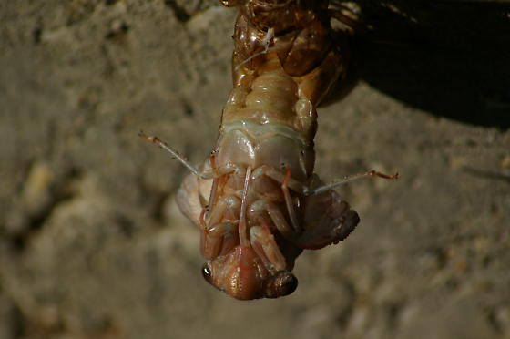 Cicada emerging from shell - Megatibicen figuratus