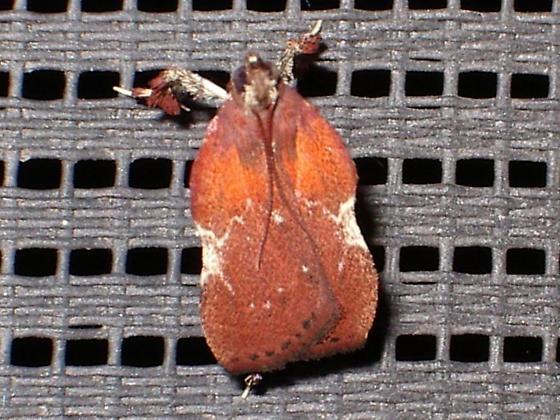 Strange-looking bug... - Galasa nigrinodis