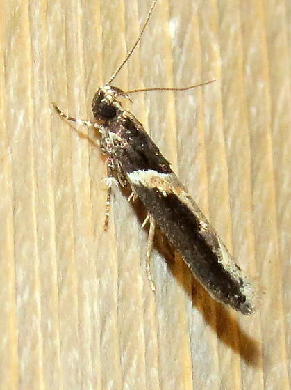 Telphusa longifasciella