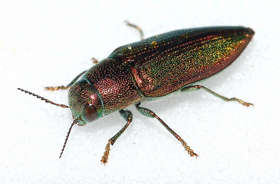 Unknown Buprestid - Buprestis decora